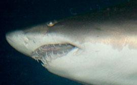 nca-shark